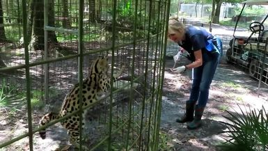 Hutch Serval Getting Treats from Keeper Marie