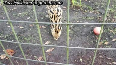 Servie Serval is getting supplements from Keeper Marie.