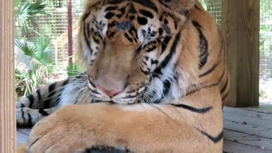 Up Close and Personal view of Max Tiger bathing.