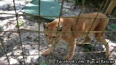 Apollo is a very old Siberian Lynx, so Keeper Marie leads him over to his air conditioner to beat t