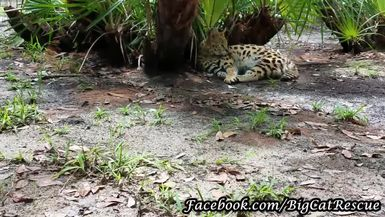 Hutch Serval was taking a nap but couldn't resist saying hello to Keeper Marie.