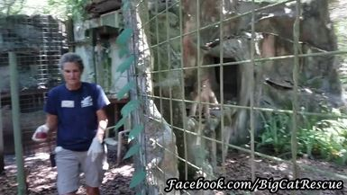 Gilligan Canadian Lynx getting a sicle from Keeper Cindy