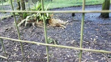 Nala Serval, yet another former pet, is relaxing on a beautiful day!