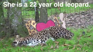 What sound does a leopard make? This is SUPER CUTE