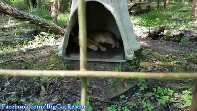 Precious Cyrus retired to his den to get out of the heat!