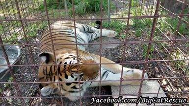 Kali Tiger hanging out in her feeding lockout.