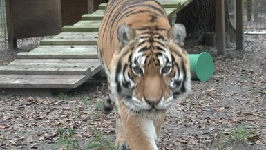 A Tiger Has Cancer Removed
