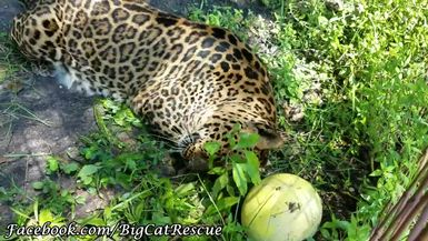Armani Leopard and her Ball Exclusive for Subscribers Video by Keeper Marie Schoubert