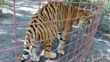 SUPPORTER ONLY VIDEO - Simba Tiger can't decide if he wants to chat with Keeper Mary Lou or find a