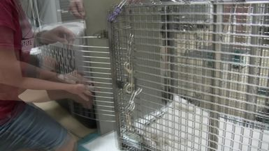 A New Rehab Bobcat Comes On Valentine's Day