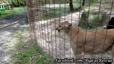 Ares Cougar getting treats from Keeper Marie