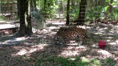 Manny Jaguar get a sicle from Keeper Marie