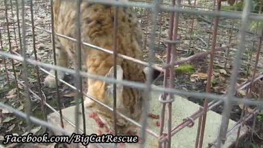Breezy Bobcat is chowing down on some meat.