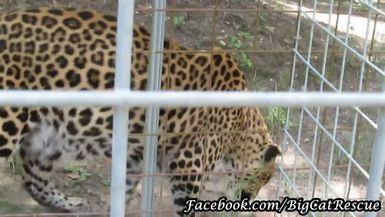 Sundari Leopard cooling off with a nice chicken sicle!
