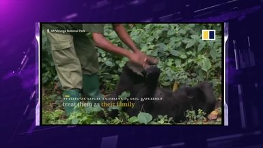 Mountain Gorilla Who Posed In Viral Selfie D!es In The Arms Of Her Caretaker