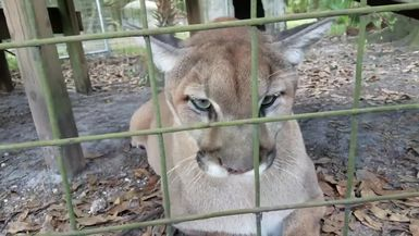 Ares Cougar Collection