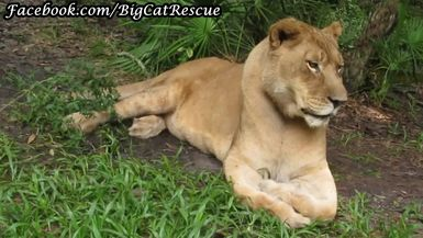 Here's a cool close-up of our beautiful queen, Nikita Lioness!
