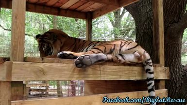 Kimba tiger is washing up after breakfast. Check out those toe beans!