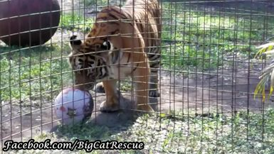 Keeper Marie caught adorable Priya playing with her pumpkin!