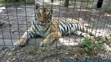 Beautiful Jasmine is taking it easy in the heat. I love the markings under her chin and neck!