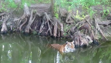 SUPPORTER ONLY VIDEO - Priya Tiger Enjoys Summer Afternoon in Tiger Lake Video by Keeper Mary Lou
