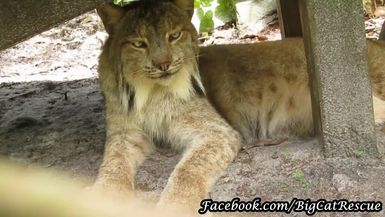 Gilligan, the Canada Lynx, is such a handsome fellow.