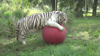 White Tiger Has A Ball!