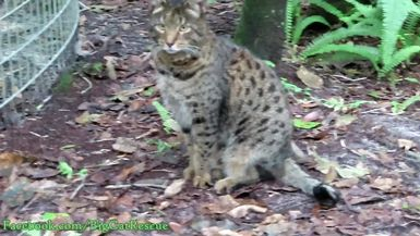 Loki, the Savannah Cat, is fascinated by all the sounds at the sanctuary!