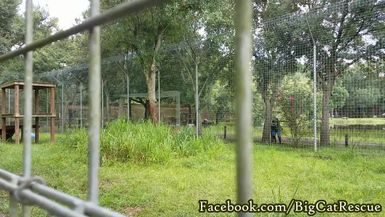 Jasmine's in a playful mood, stalking Keeper Bridget while she tries to clean Jazzy's cage.