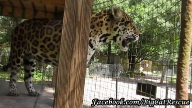 Grab your fainting couches! Manny Jaguar is looking devilishly handsome today.