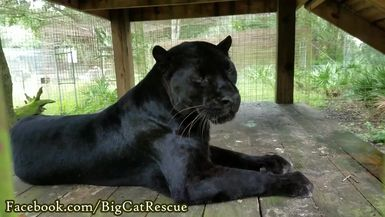 Jinx is a most handsome leopard! You can see the spots on his front leg even in the shade