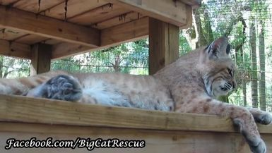 Smalls Bobcat sure likes being up on the higher sections of her platform