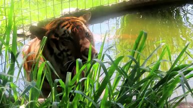 Simba Tiger lounging around in his pool! No teasing his keeper, this time, LOL!
