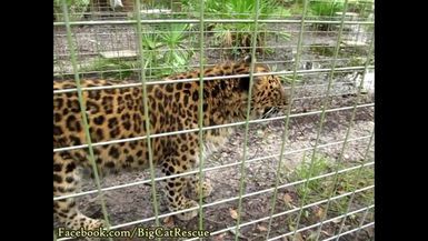 Natalia, showing a bit of her wild side, was moving through the tunnel between two of her enclosure