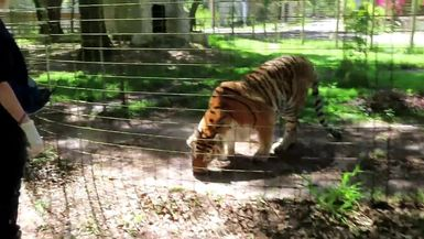Dutchess Tiger prefers taking her sicle to the grass.
