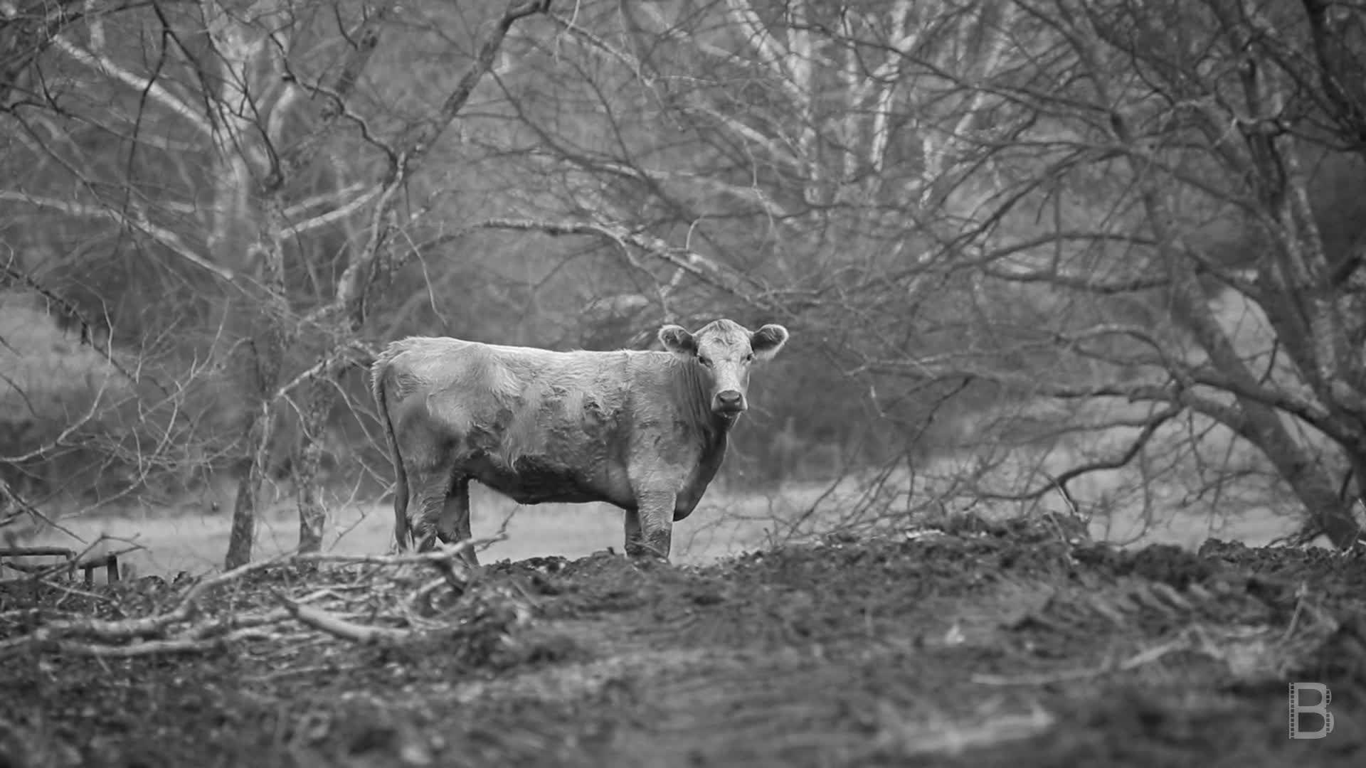 BELLA Presents: daily bello S1 Ep117 Cows in Black & White