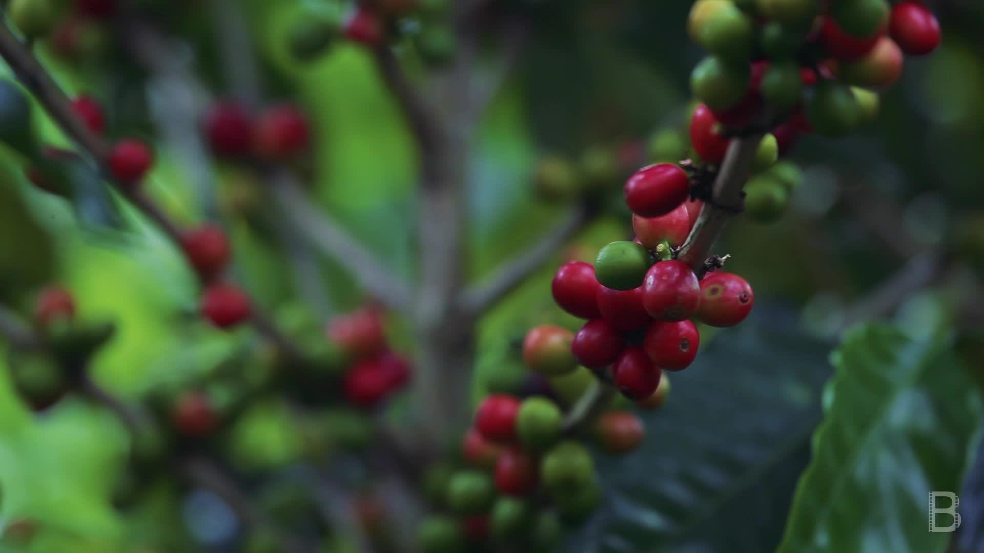 BELLA Presents: daily bello S1 Ep88 Coffee Farm
