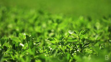 BELLA Presents: daily bello S1 Ep56 Stevia Plants